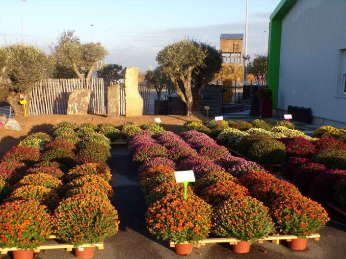 Chrysanthemes proche Pornic et Préfailles paysagiste au Jardin des Reves à la Plaine sur Mer