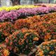 Chrysanthèmes La Plaine sur Mer